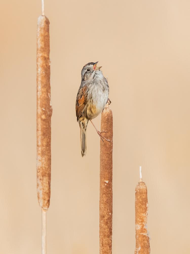 Swamp Sparrow © Matt Filosa