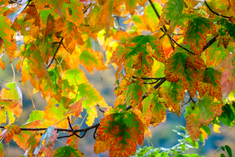 Red Maple leaves turning orange © Renee Sack
