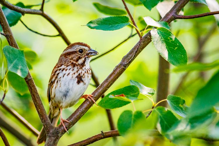 Song Sparrow © Thomas Kilian
