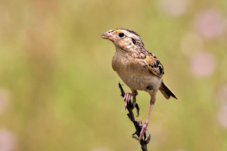 Grasshopper Sparrow © Kevin Bourinot
