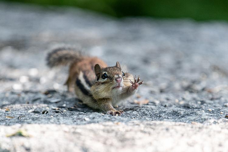 chipmunk reaching out