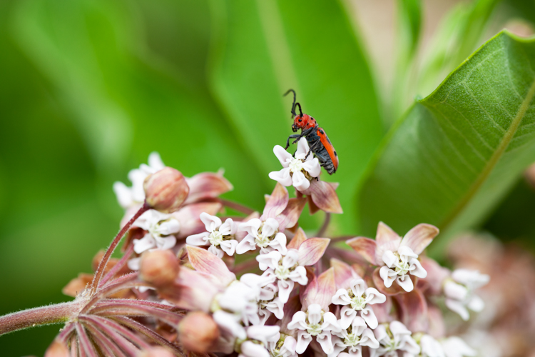 Red Milkweed Beetle on Common Milkweed © Jenny Schule