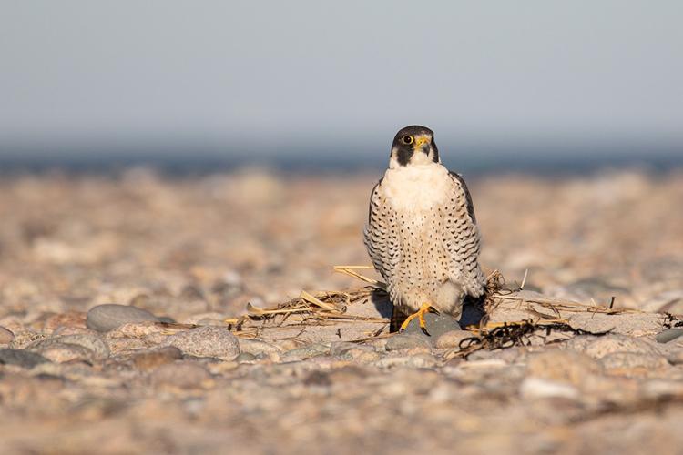 Peregrine Falcon © Diane Lomba