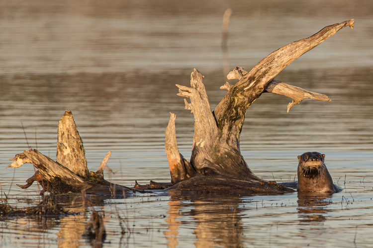 River Otter © Bill Marquardt