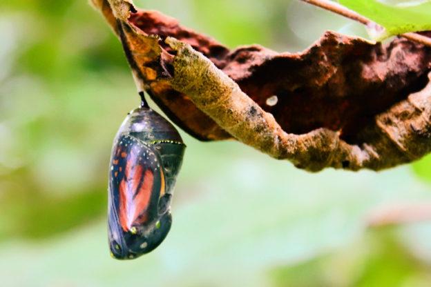 Monarch Chrysalis © Oscar Esposito