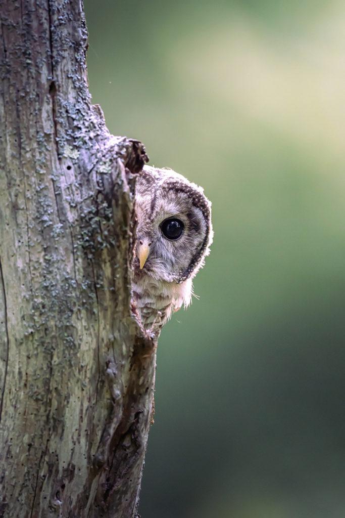 Barred Owl © Van Lam