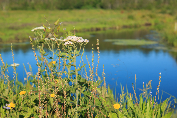 Native plants are thriving at Tidmarsh Wildlife Sanctuary as nature reclaims the former cranberry farm