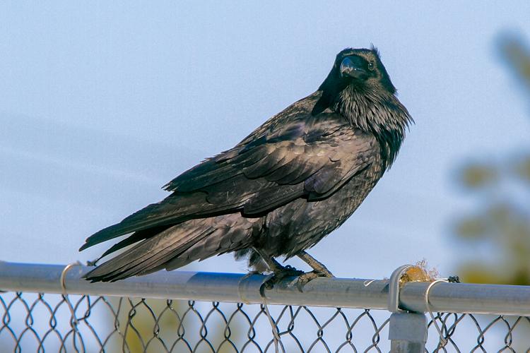Common Raven © Doug Pederson