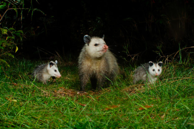Virginia Opossums © Scott Eggimann