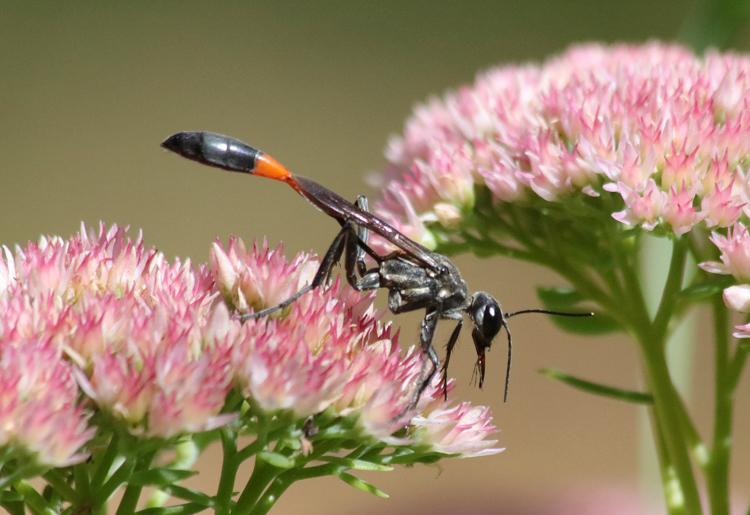 Thread-waisted Wasp © Barbara Taskovics