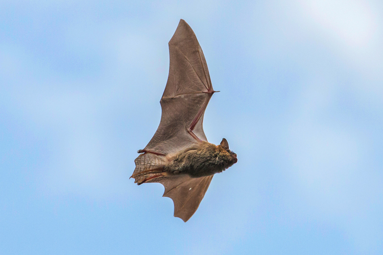 Big Brown Bat (likely) © Eric Windover